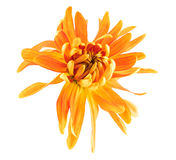 Chrysanthemum flower. Golden autumn isolated on a white background Royalty Free Stock Photos