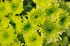 Chrysanthemum flower in green color Royalty Free Stock Photos