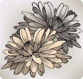 Chrysanthemum flower, hand-drawing. Vector illustr Royalty Free Stock Image