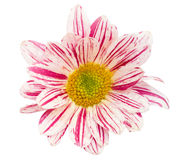 Chrysanthemum flower isolated on white Royalty Free Stock Images