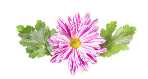 Chrysanthemum flower with leaves Stock Image