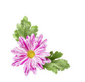 Chrysanthemum flower with leaves Stock Photography