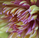 Chrysanthemum flower  Macro. Blurred yellow-pink background flower. Chrysanthemum petals closeup. For design. Royalty Free Stock Photos