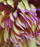 Chrysanthemum flower  Macro. Blurred yellow-pink background flower. Chrysanthemum petals closeup. For design. Stock Photos