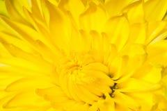 Chrysanthemum flower macro photo Stock Photo