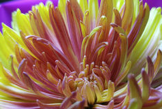Chrysanthemum flower  Macro. yellow-pink flower. Disbands in the sun.  For design. Royalty Free Stock Images