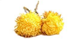 Chrysanthemum flower Royalty Free Stock Photography