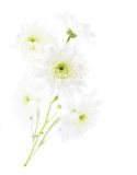 Chrysanthemum flower over white. Closeup Stock Photos