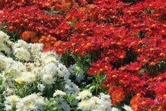 Chrysanthemum flower parterre Royalty Free Stock Photo