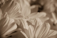 Chrysanthemum flower petals Stock Photos