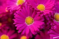 Chrysanthemum flower stock image