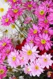 Chrysanthemum flower. Stock Photo