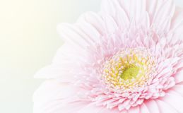 Chrysanthemum flower pink and yellow, Close up royalty free stock photography