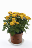 Chrysanthemum flower pot Stock Photo