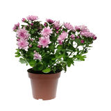 Chrysanthemum flower in pot Stock Photo