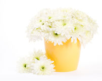 Chrysanthemum in flower pot over white background Stock Photography