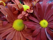Chrysanthemum flower - Red Royalty Free Stock Images