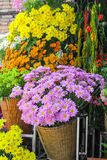 Chrysanthemum in flower shop Royalty Free Stock Photography