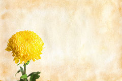 Chrysanthemum flower on vintage paper Stock Photo