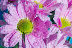 Chrysanthemum flower in water with bubbles of air, close-up Royalty Free Stock Photography