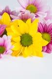 Chrysanthemum flower on white background Royalty Free Stock Images