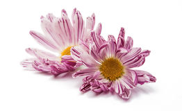 chrysanthemum flower Royalty Free Stock Images