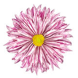 Chrysanthemum Flower White and Purple Petals Isolated Stock Photography