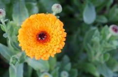 Chrysanthemum flower. Yellow chrysanthemum flower autumn flowers in macro Royalty Free Stock Photography