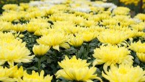 Chrysanthemum flower Royalty Free Stock Image