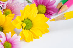 Chrysanthemum flower with yellow color pencil Stock Images