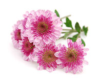 Chrysanthemum flowers Stock Image