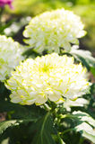Chrysanthemum flowers Royalty Free Stock Images