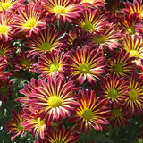 Chrysanthemum  flowers Royalty Free Stock Image