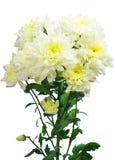 Chrysanthemum flowers Stock Photos