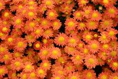 Chrysanthemum flowers Royalty Free Stock Photos