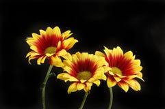Chrysanthemum flowers against black. Yellow and red chrysanthemum flowers against black Stock Photo