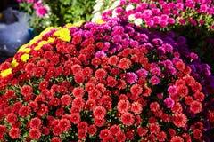 Chrysanthemum flowers as a background close up. Burgundy purple Chrysanthemums. royalty free stock photos