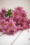 Chrysanthemum flowers as a background close up.Pink royalty free stock image