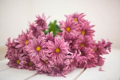 Chrysanthemum flowers as a background close up.Pink stock photos