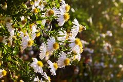 Chrysanthemum flowers as a background close up. Vibrant white Chrysanthemums. stock images