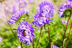 Violet Chrysanthemums in autumn. Chrysanthemum wallpaper. royalty free stock photo