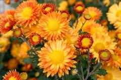 Chrysanthemum  flowers background Royalty Free Stock Photo