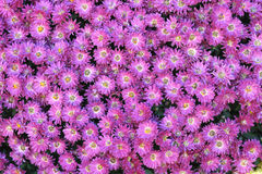 Chrysanthemum flowers Royalty Free Stock Photo