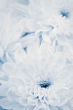 Chrysanthemum flowers for background, beautiful floral texture, retro toning, blue color. Macro stock photo