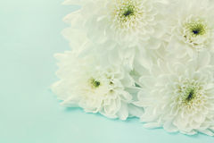 Chrysanthemum flowers for background, beautiful floral texture, retro toning, white and blue color. Macro Royalty Free Stock Images