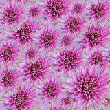Chrysanthemum flowers background Royalty Free Stock Photo