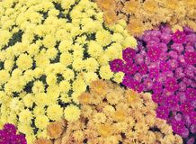 Chrysanthemum flowers background royalty free stock photography