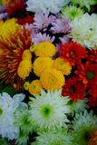 Chrysanthemum flowers background, flowers for shops and auctions. Colorful Chrysanthemum background, flowers for shops and auctions – world wide delivery Stock Photography