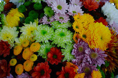 Chrysanthemum flowers background, flowers for shops and auctions. Colorful Chrysanthemum background, flowers for shops and auctions – world wide delivery Royalty Free Stock Photos