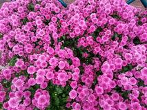 Chrysanthemum Flowers Background Stock Image